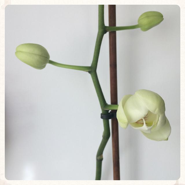 Primera flor de orquídea del año, el pasado domingo 1 de marzo