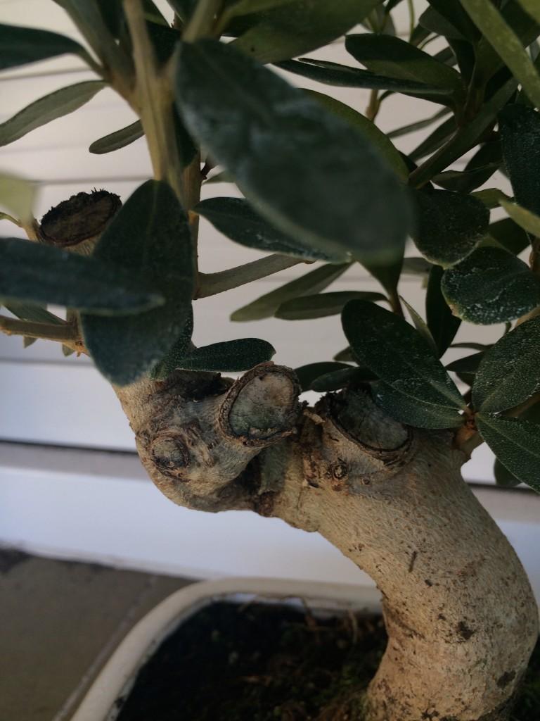 Ramas para el engorde del tronco, que se han cortado para su venta en forma de bonsái