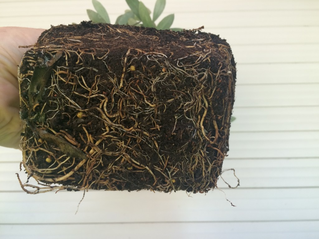 Parte inferior de las raíces